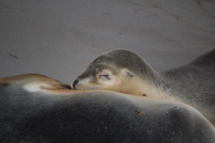 Leones marinos australianos en la Isla del Canguro